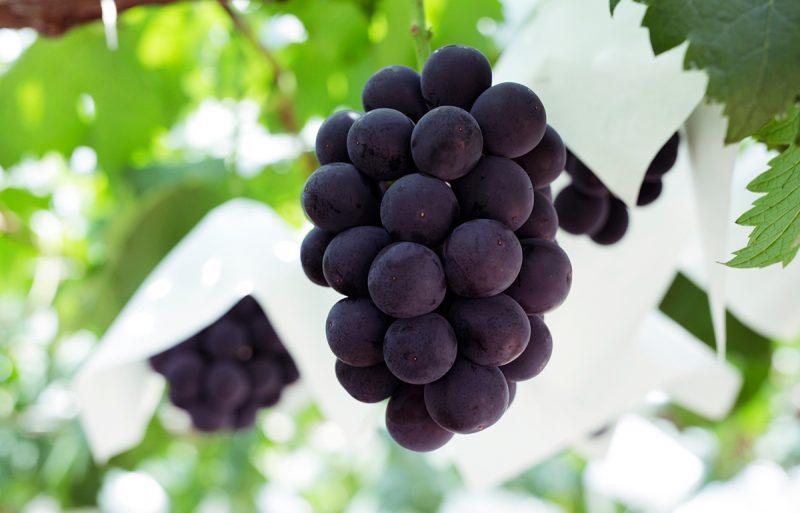「ぶどう」 露地栽培のぶどうは夏から秋にかけて楽しめる果物です。