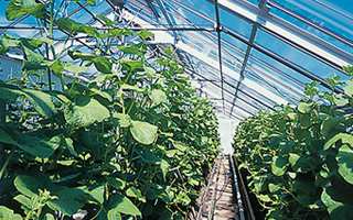 温室 栽培 メロン